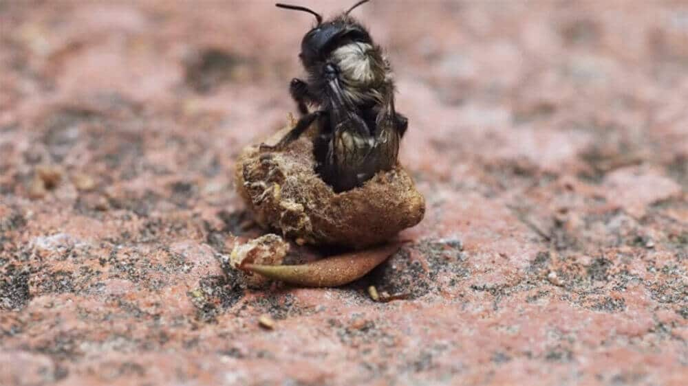 Watch A Mason Bee Emerge From Cocoon
