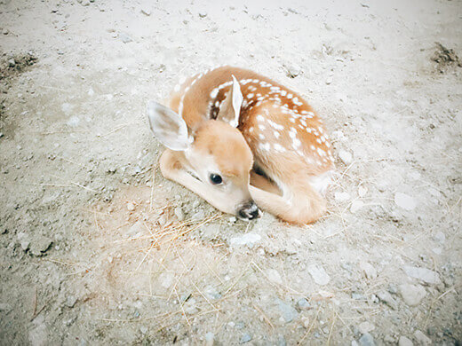 A sweet fawn found in the Adirondacks