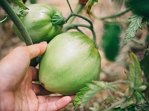 King of Siberia tomato