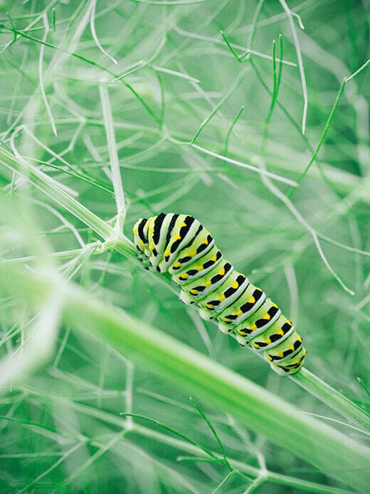 Fennel for the butterflies