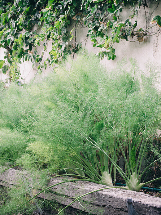 Florence fennel in the garden