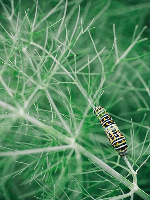 Parsleyworm on fennel