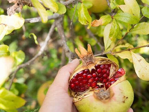 Homegrown pomegranate