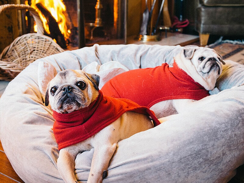 Pugs in Christmas sweaters