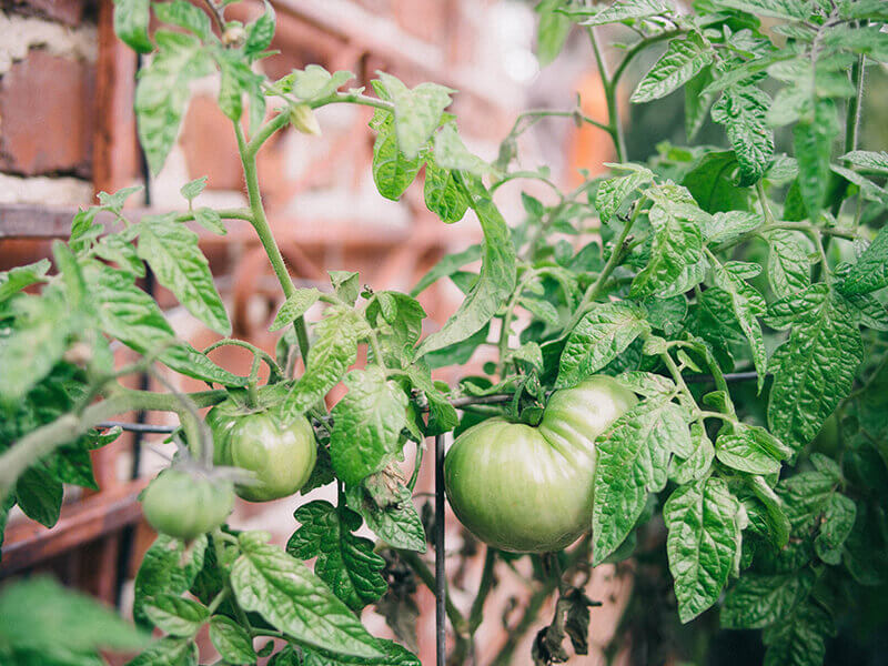 Tomatoes in winter