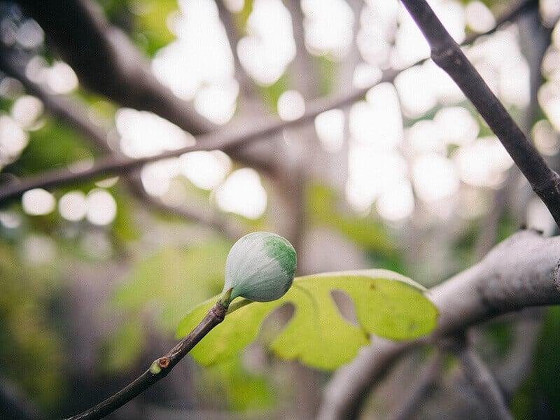 Fig in winter