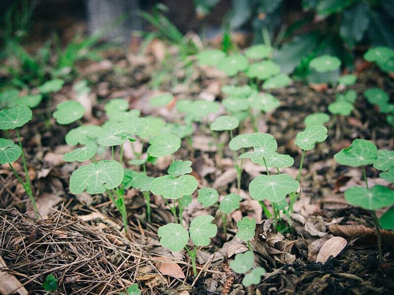 Nasturtiums after the rain
