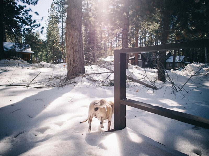 Pug in the snow