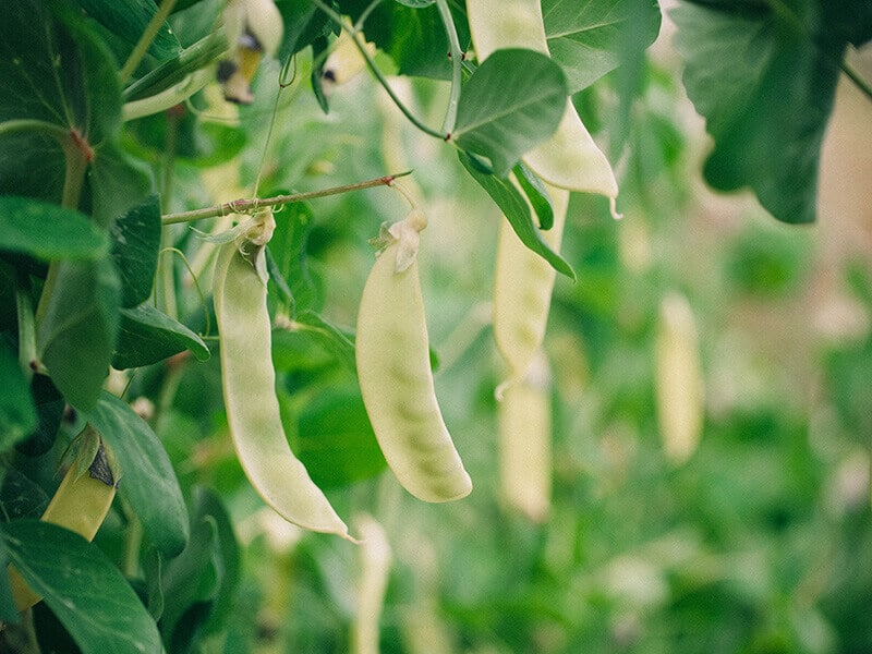 Golden snow peas