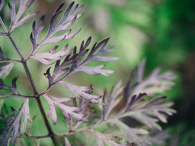 Purple-tinged carrot leaves