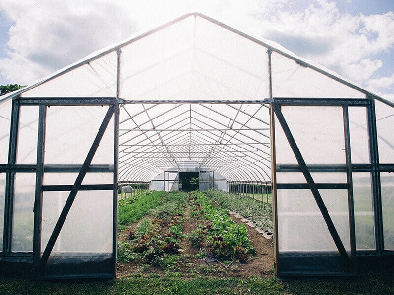 Vegetables inside the greenhouse