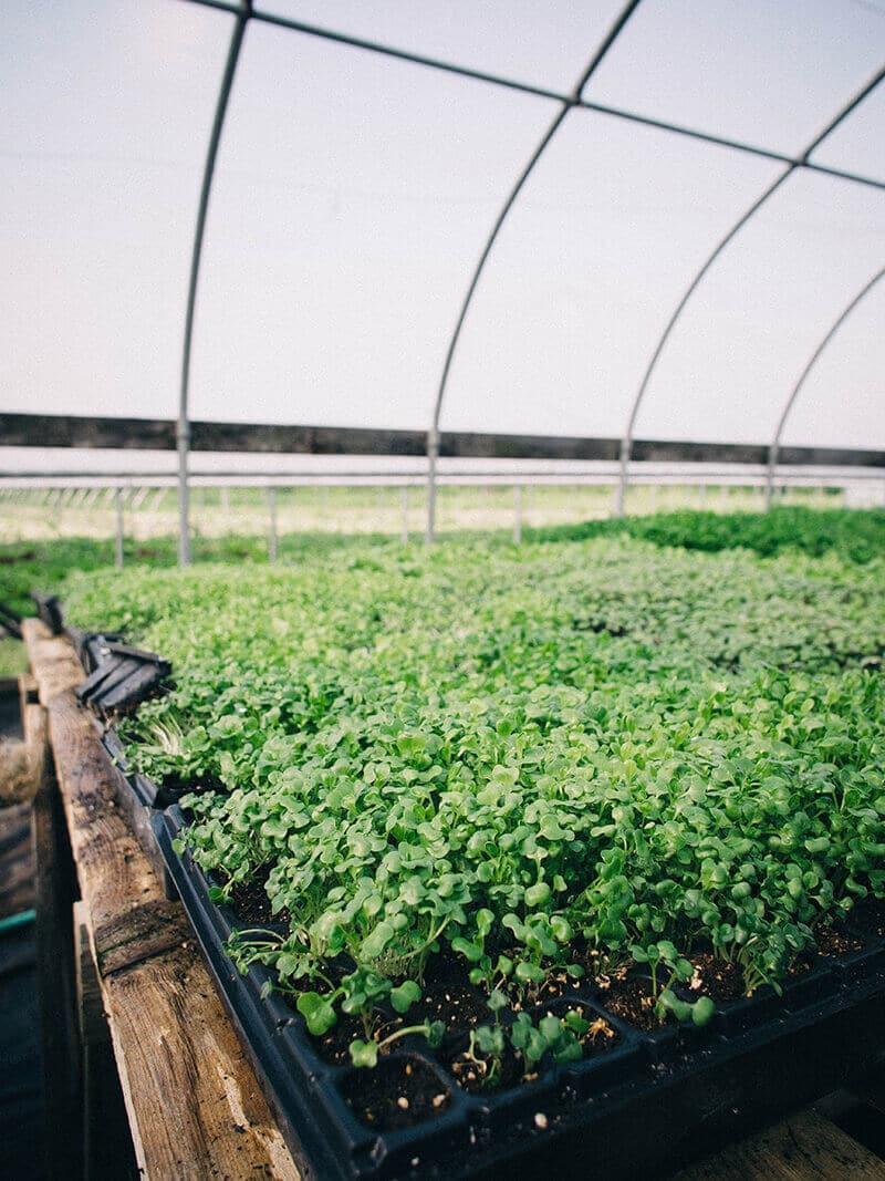 Fresh microgreens