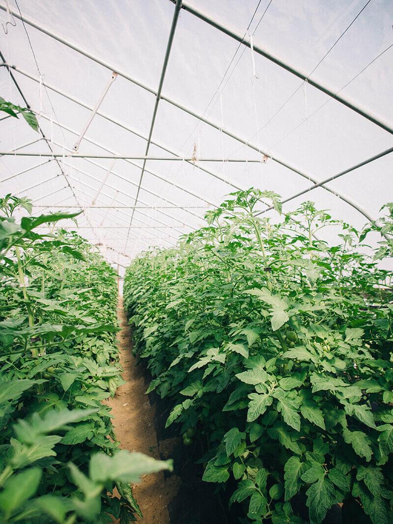 Tomato plants in June