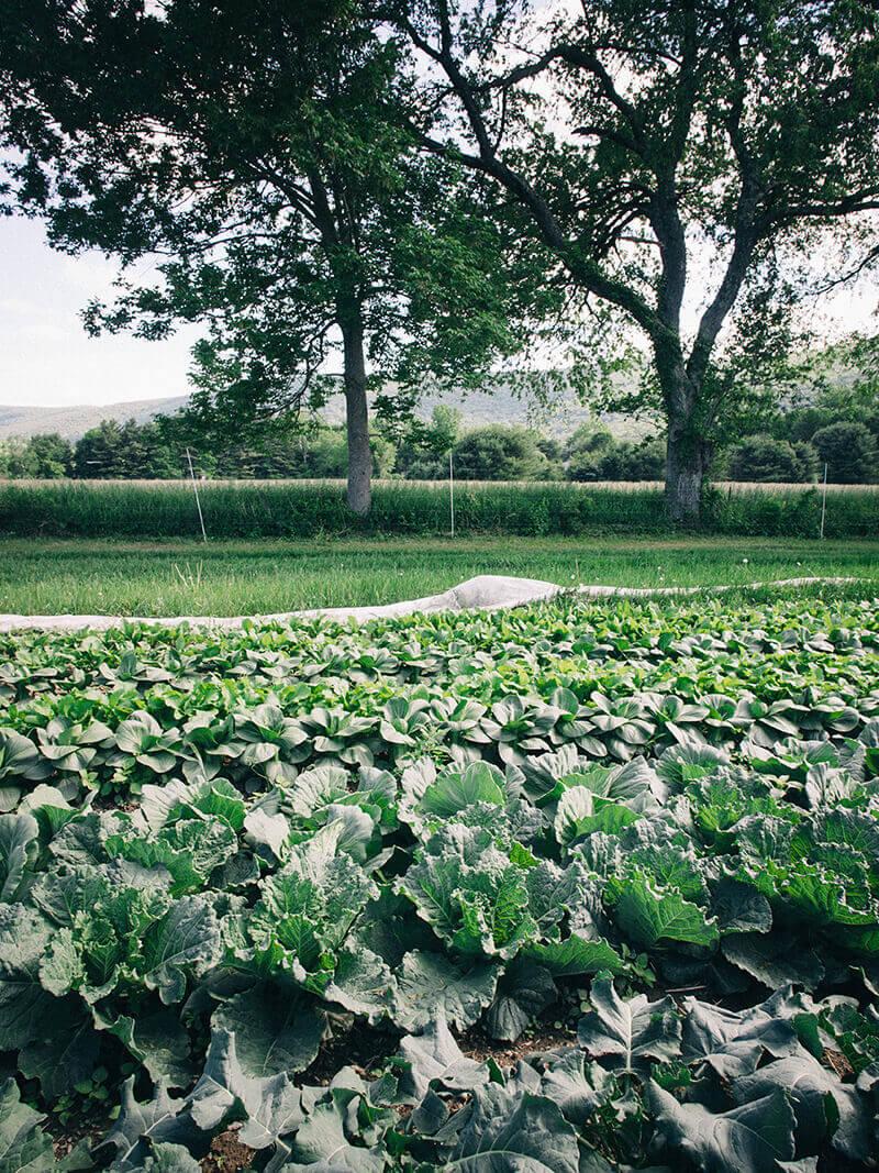 Leafy green crops