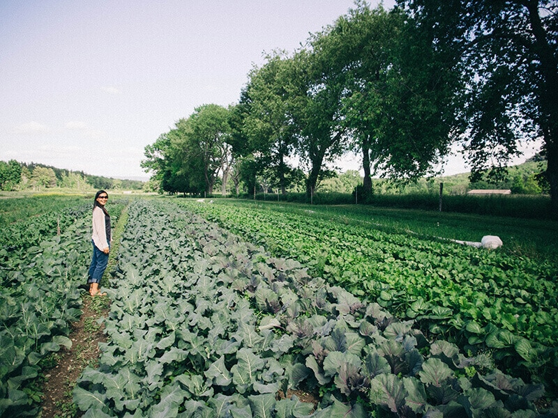 Rows of brassicas