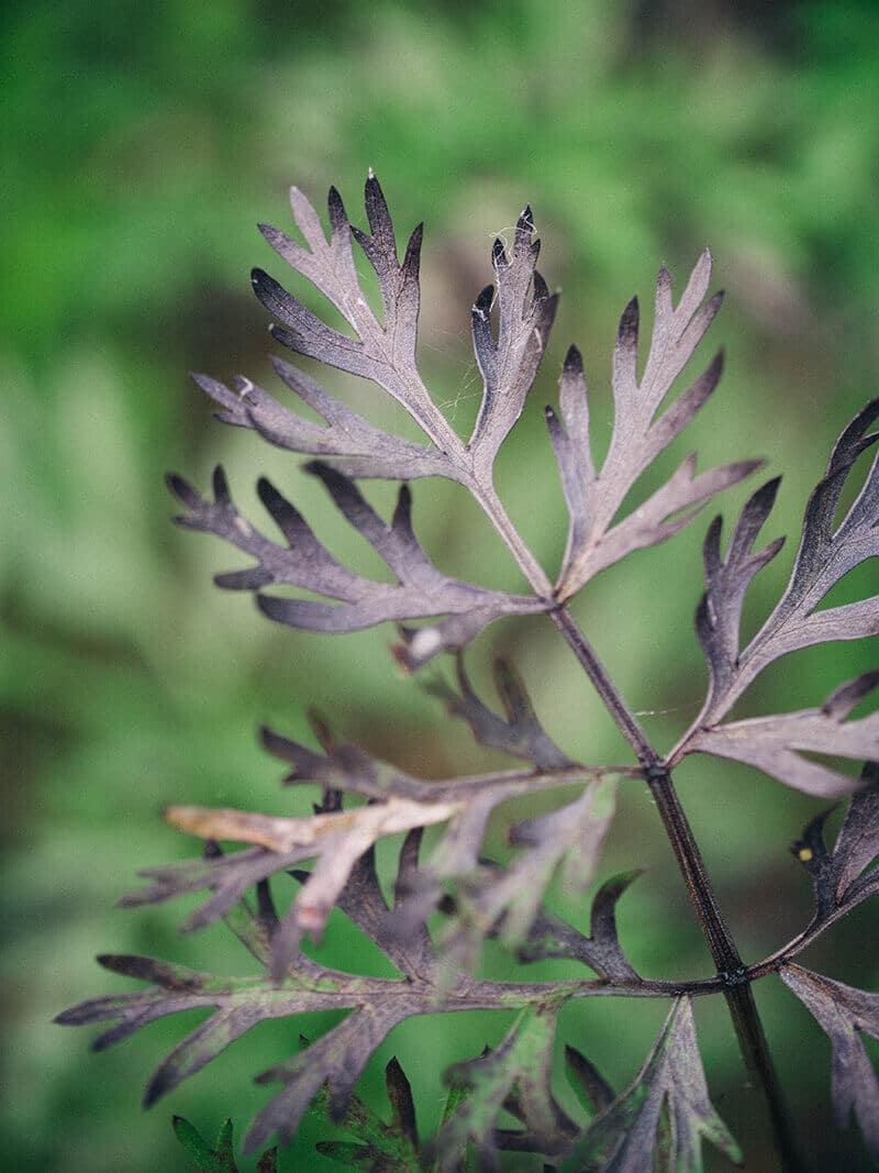 Purple carrot leaves