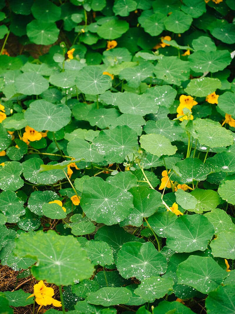 The superhydrophic surface of nasturtium leaves