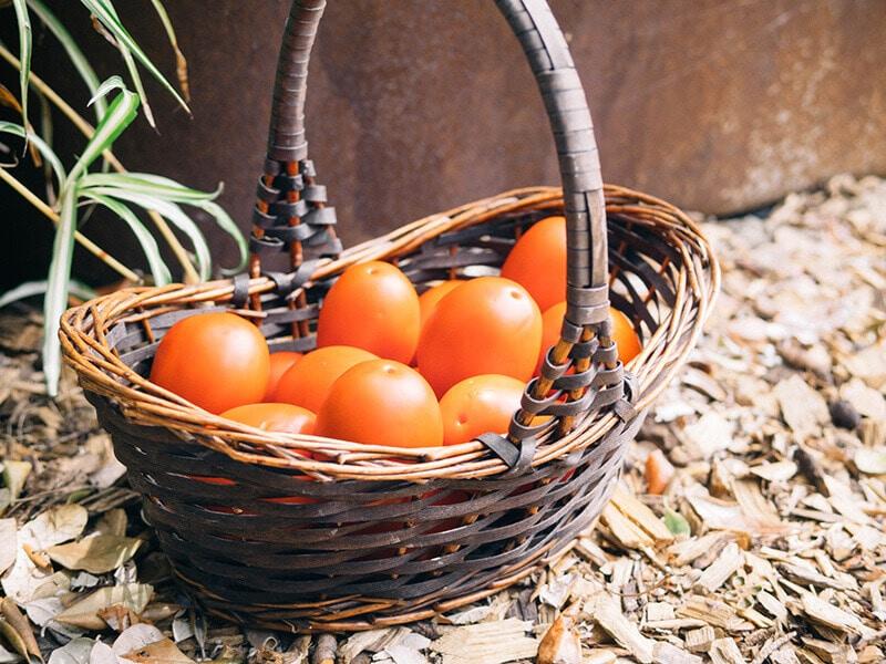 Late summer harvest of plum tomatoes