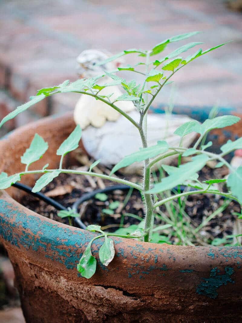 Volunteer tomato plant