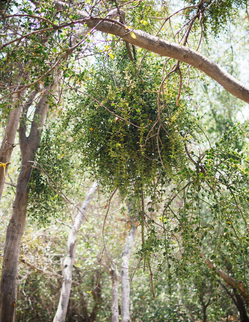 The curious history of the mistletoe (it's more than just the kissing plant)
