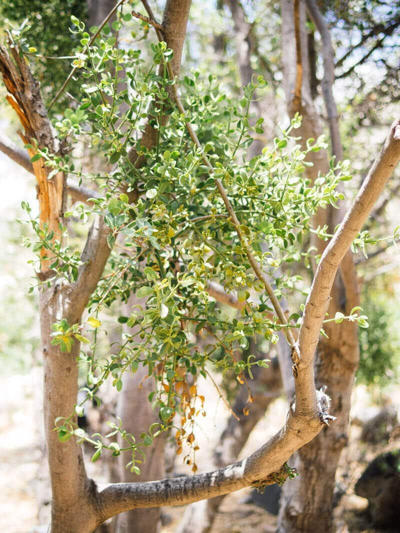 American mistletoe seen in California