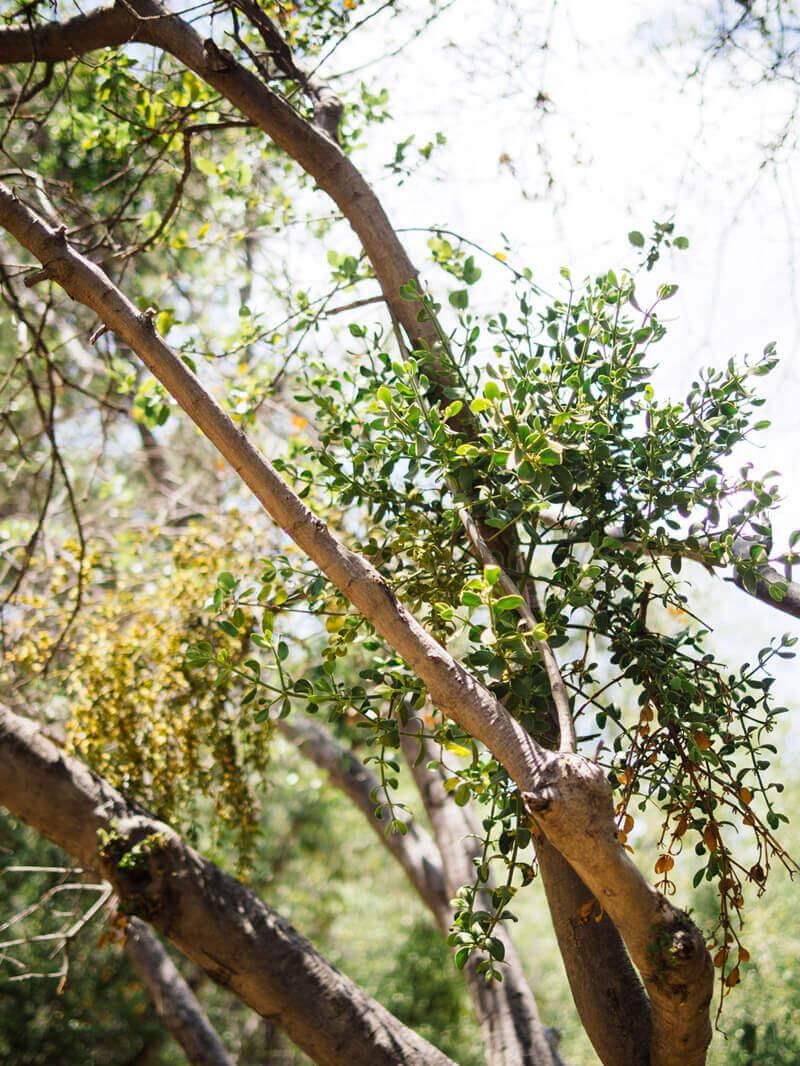 Mistletoe overrunning a host tree