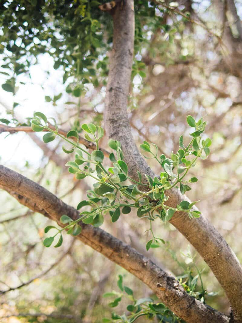 Young mistletoe growing on an oak tree