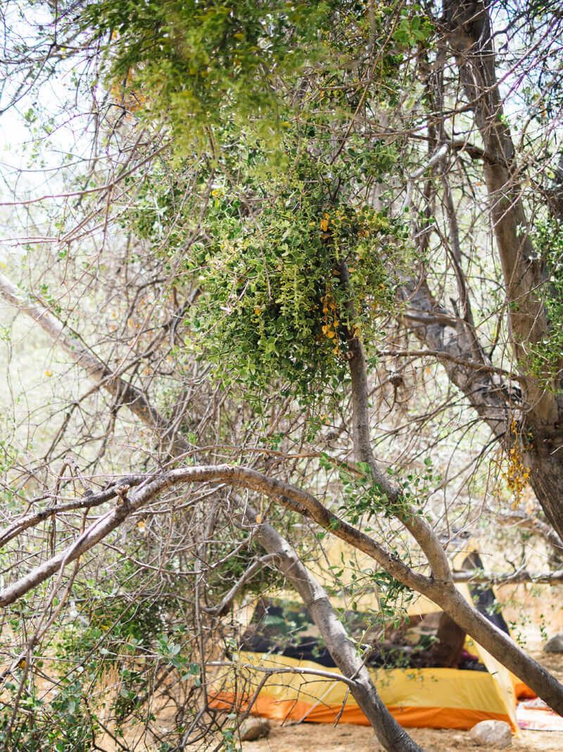 Eastern mistletoe hanging over a campsite