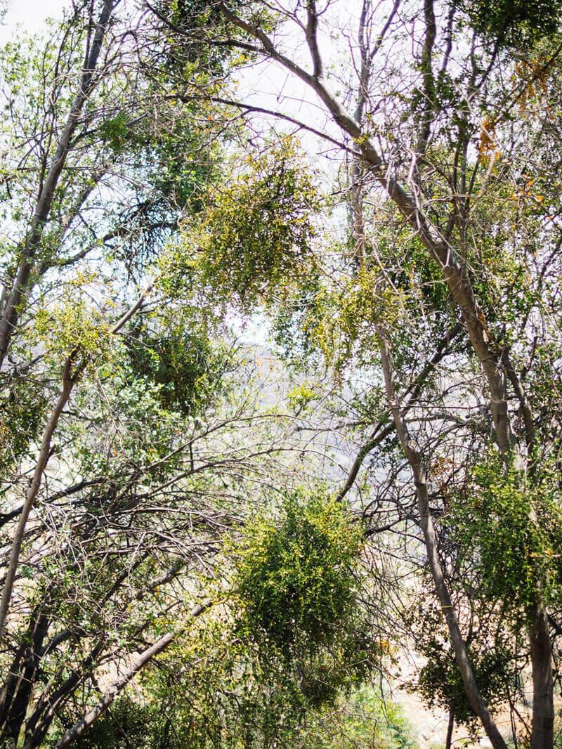 Heavy infestation of oak mistletoe
