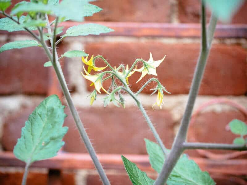 Winter tomato plant