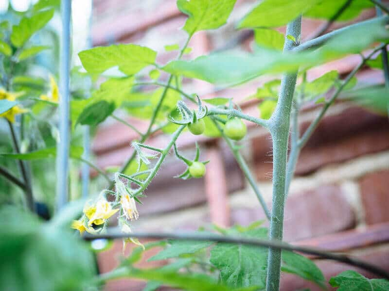 The first winter tomatoes