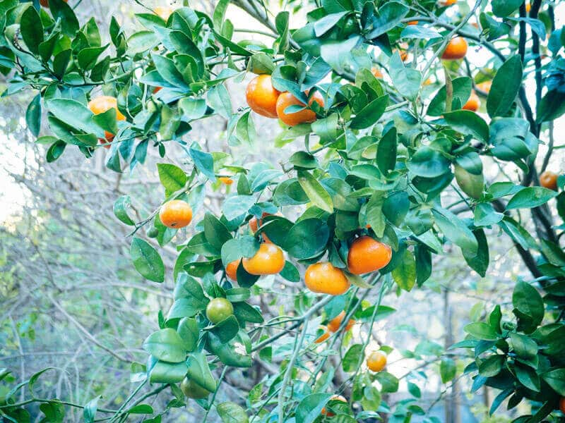 Backyard mandarin tree