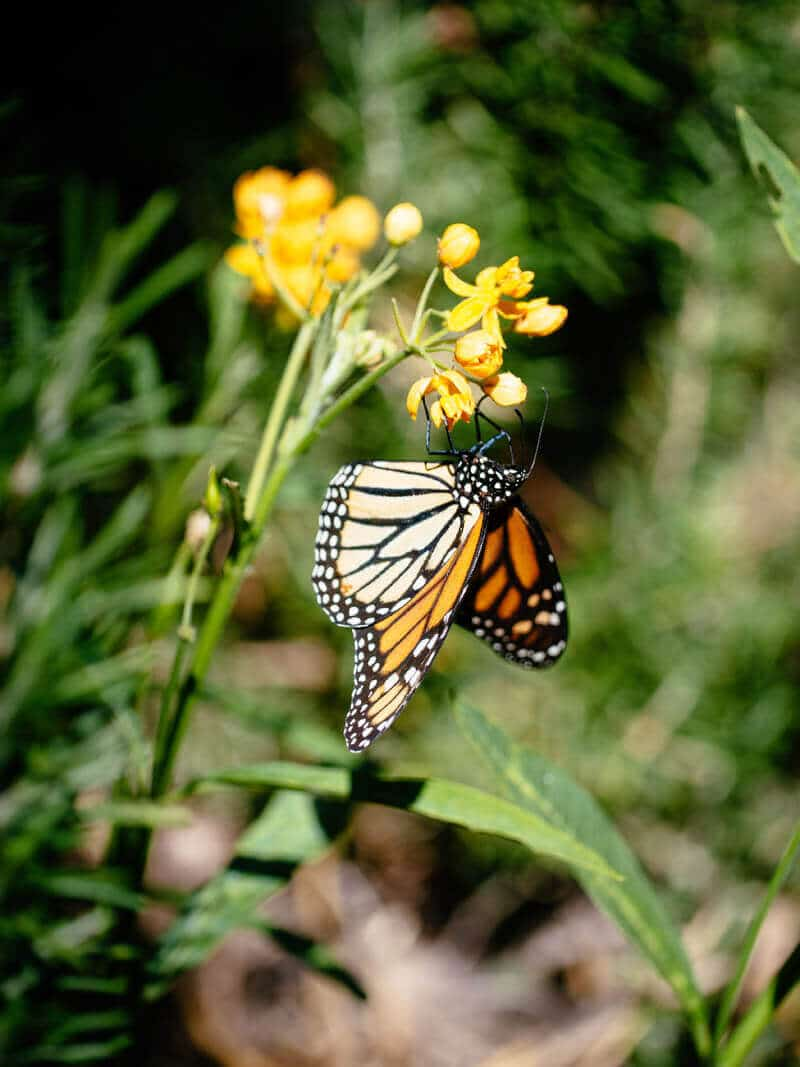 Planting milkweed for the monarchs