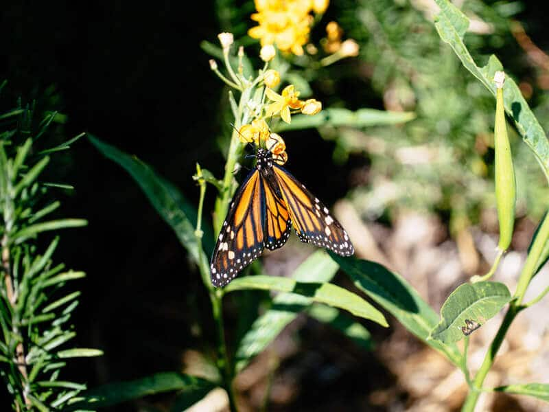 Monarch butterfly in Southern California