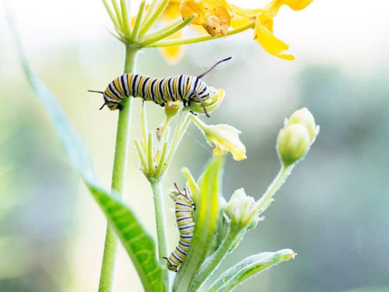 Monarch caterpillars on butterflyweed