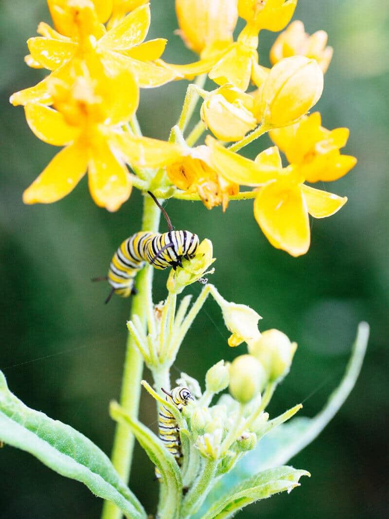 Monarch larvae on butterflyweed
