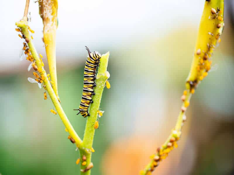 Monarch caterpillar and oleander aphids