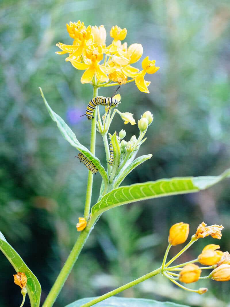 Hungry monarch caterpillars