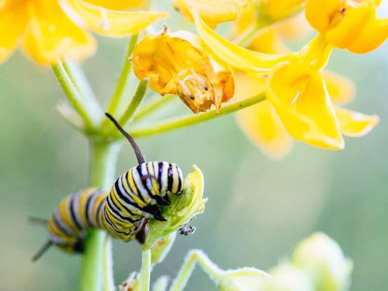 Monarch caterpillar on native milkweed plant