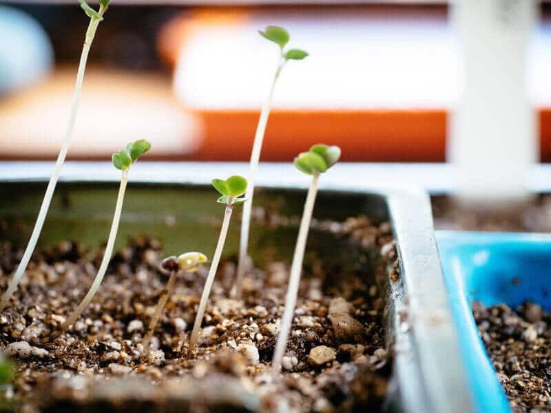 Leggy brassica seedlings