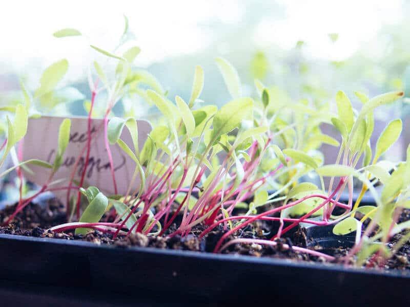 Beet seedlings leaning toward the light