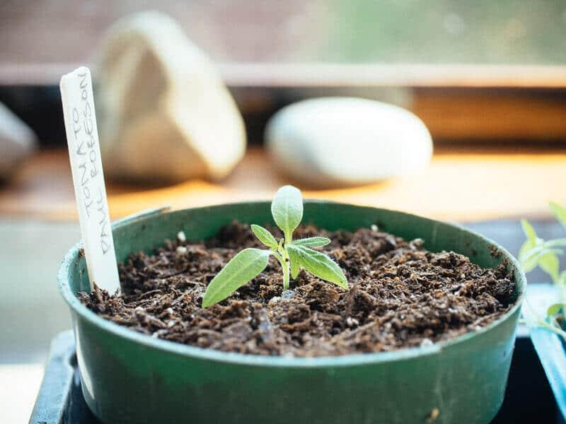 Bury the stems of leggy tomato seedlings