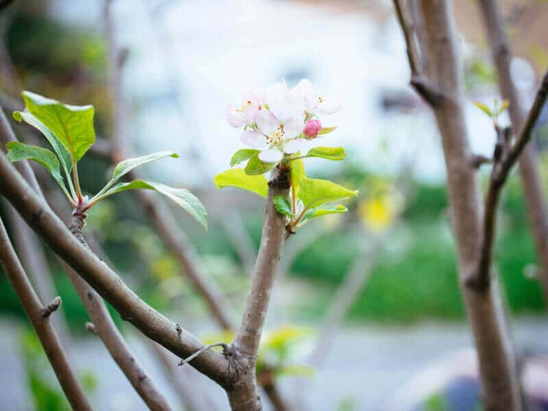 First apple blossoms of spring