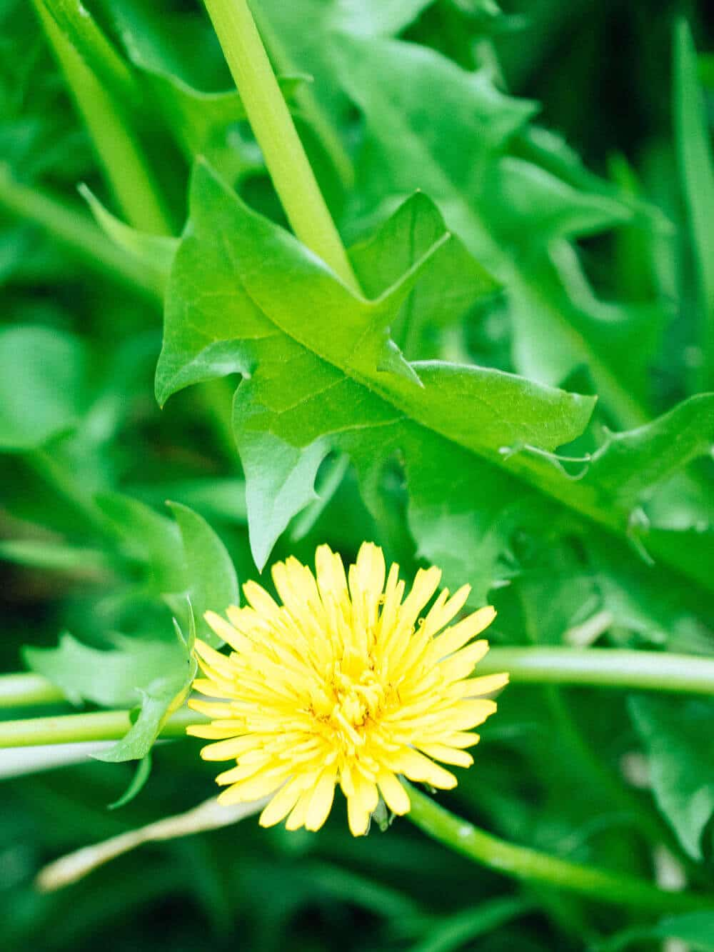 Dandelions add color to the drab landscape of early spring