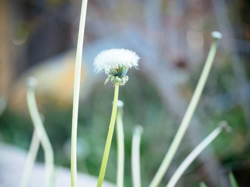 Dandelions are an important source of food for wildlife
