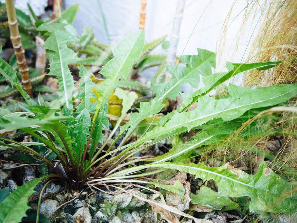 Dandelions encourage biodiversity