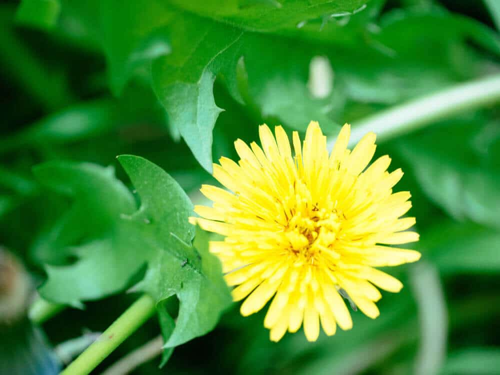 Dandelions are edible from root to flower