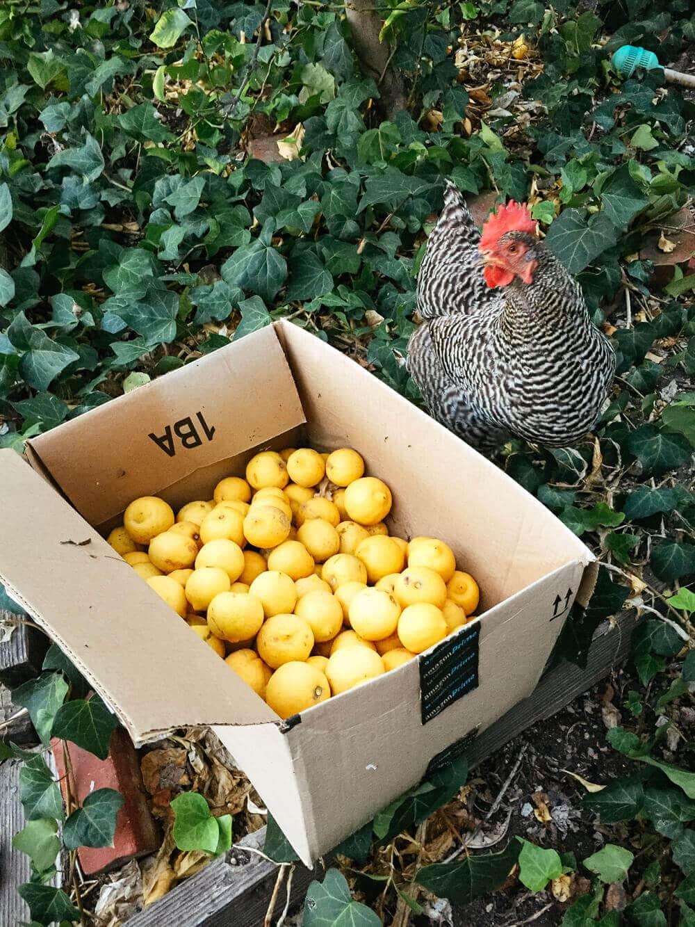 Kimora with our lemon harvest