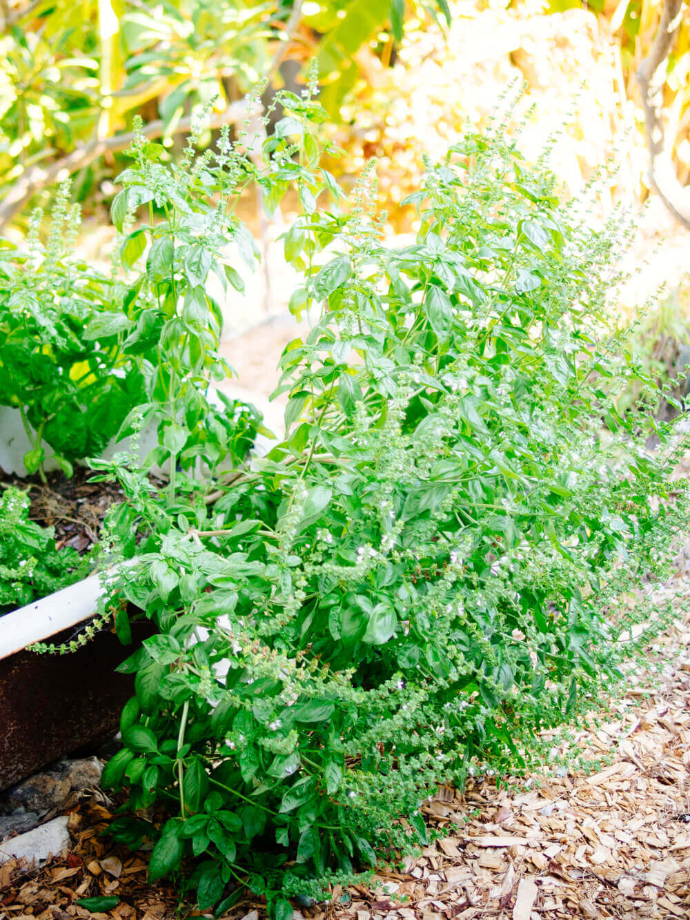"""A mature basil plant started from a supermarket """"living herb"""""""