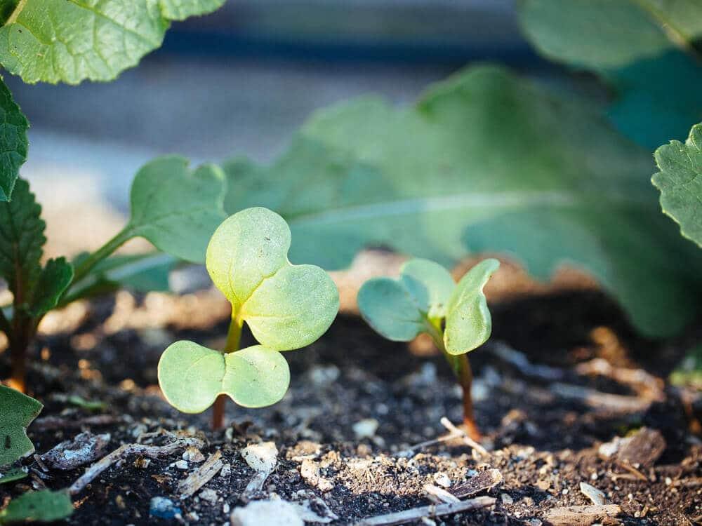 Gardening quick tip: eat those thinnings